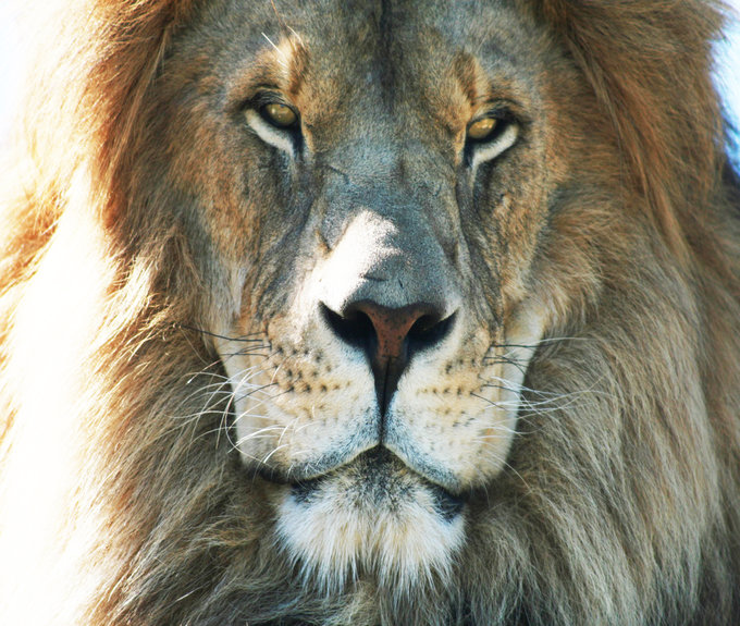 Lion Safari for 4