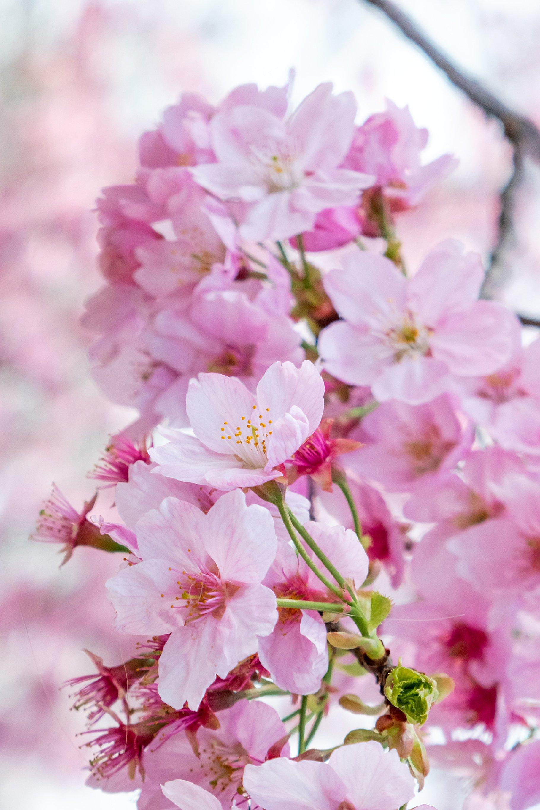 Cherry Blossom Festival Package